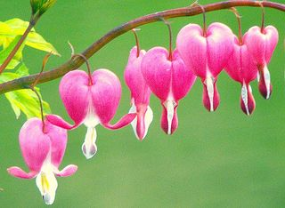 Bleeding-heart-flower-10